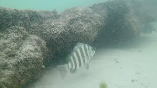 """Hey everyone this is my first time snorkeling and I just wanted to share this with you!!!!!! AS ALWAYS CATCH BIG FISH HAVE A GOOD Day!!!!!!!!Music- Alan Walker FADELURES I USEStorm Live kicking Minnow-https://goo.gl/CbMb6MMatzuo Ikari lipless crankbait- https://goo.gl/RBPTdyStorm 3"""" Wildeye Bluegill-https://goo.gl/APLKxCDUCK LURE-https://goo.gl/jMYCz1SUNFISH LURE-https://goo.gl/GhTpRcDOUBLE PLOPPER- https://goo.gl/lVmOaUROD AND REELSMACH 1 Speed Spool Combo- https://goo.gl/ibmLGlMACH 2 REEL- https://goo.gl/th3A2yGhost Ducket rod- https://goo.gl/G0upkPUgly Stick Combo- https://goo.gl/1kLk7mCamera GearGo Pro Hero 5- https://goo.gl/eUnDgcCannon 70 D with lens- https://goo.gl/hxAeuu*above are amazon associate links*"""