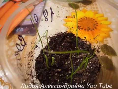 Проверяем посевы порея от 18 января-,моркови. (видео)