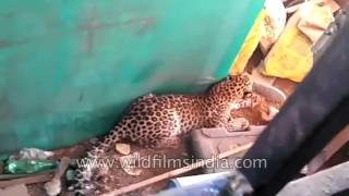 Valsad India  city photo : Leopard attack in India: big cat injures 3 at Valsad village in Gujarat