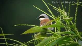Video Urdaibai Bird Center - Alcaudón dorsirrojo MP3, 3GP, MP4, WEBM, AVI, FLV Agustus 2018