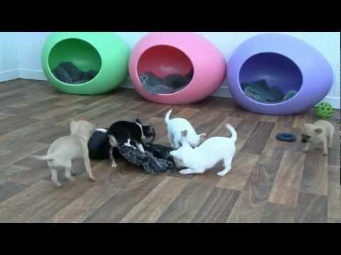 cucciolata di chihuahua