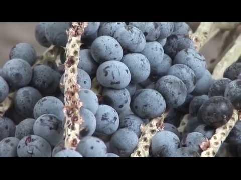 Governador Newton Bello receberá fábrica de beneficiamento de frutas.