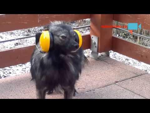 Příprava psa na Silvestra ...