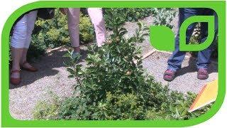 Unser kleinster Apfelbaum Gulliver