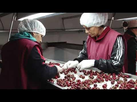 Chimpay festejará la producción de cerezas