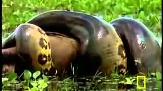 Trăn khổng lồ ăn thịt người? www.SimDepDongNai.com - Bán sim VIP.flv