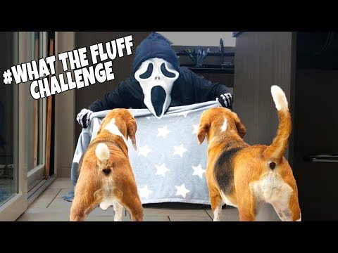 Magic Blanket Trick : Funny Dogs Louie And Marie