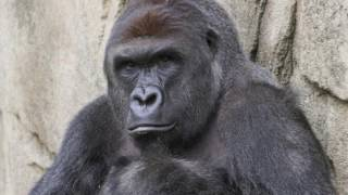 Nonton A TRUE FRIEND -- RIP HARAMBE (TRIBUTE SONG) Film Subtitle Indonesia Streaming Movie Download