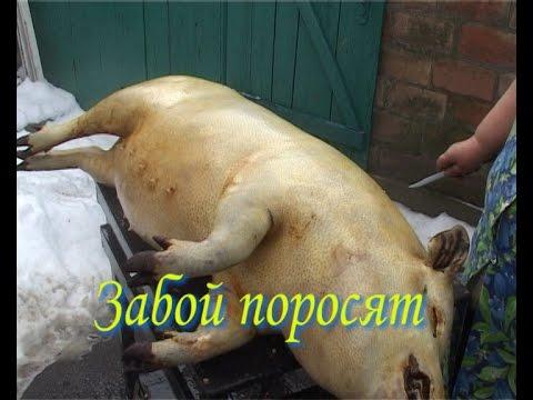 свинья не до конца опоросилась немаловажным является то
