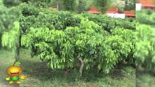 การวินิจฉัยและการติดตามผลของการจัดการธาตุอาหารในสวนลำไย ตอนที่ 2
