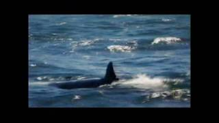 Video Great White vs. Orca MP3, 3GP, MP4, WEBM, AVI, FLV Agustus 2019