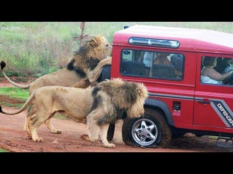 👉 6 Minutes of Animals vs Cars Trucks Boats, Including Lions Bears Elephants Goats