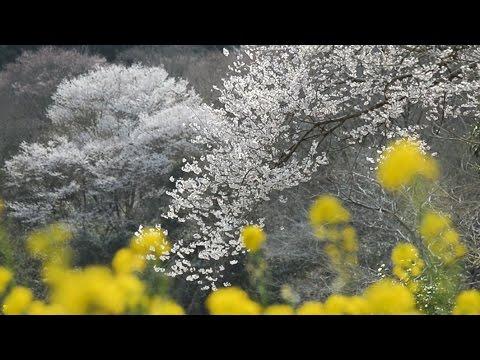早咲きのエドヒガン見ごろ 川西