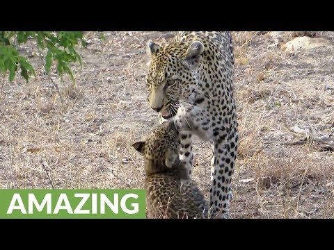 Big Cat Love: Cute Leopard Cub Plays With Mom