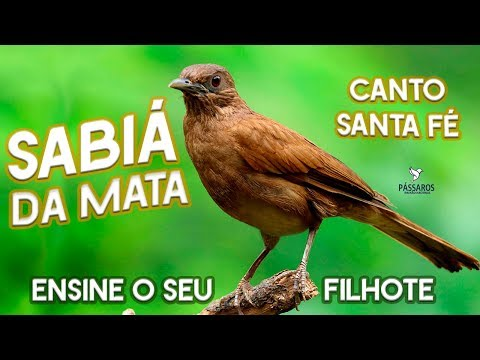 SABIÁ DA MATA - SABIÁ VERDADEIRO - CANTO SANTA FÉ - (TURDUS FUMIGATUS).