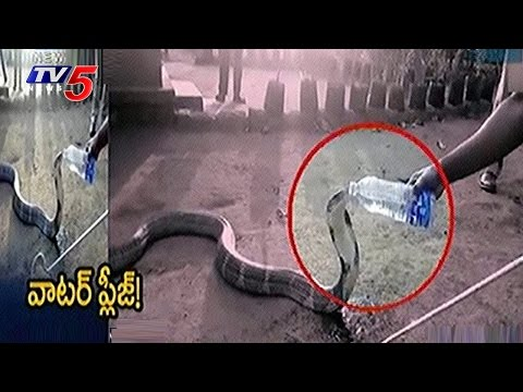 Summer Effect On King Cobra | Thirsty King Cobra Drinks Water From Bottle