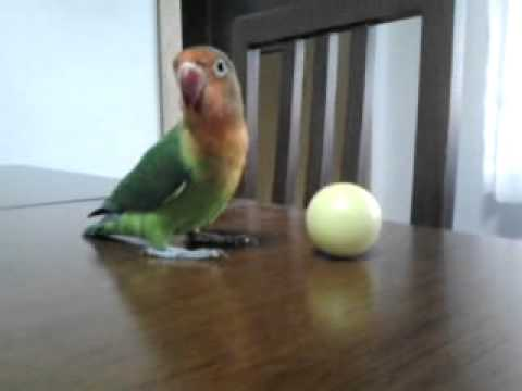 Playful Paradise Parrot Playing With His Ball :)