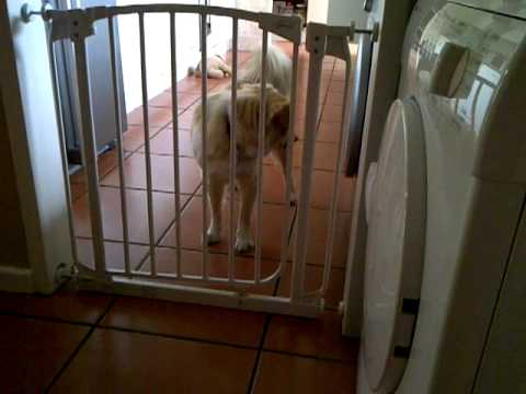 Clever dog escaping baby gate