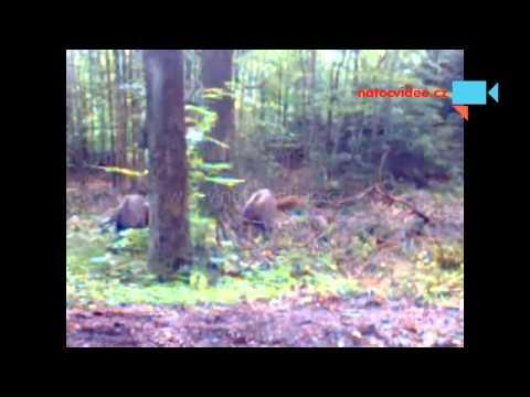 Přepadení v lese-divočáci