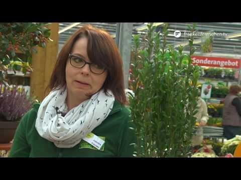 Herbstliche Schale als Grabschmuck – Blatt und Blüte Tipp der Gartenwelt Dauchenbeck