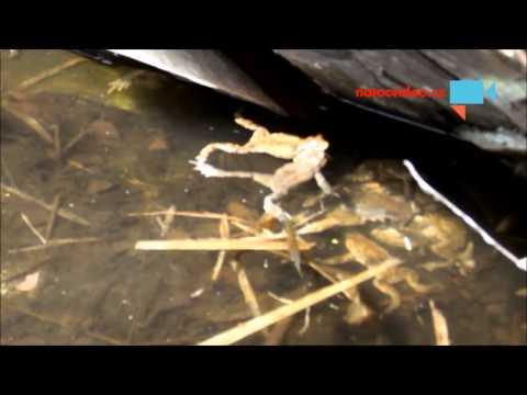Žabí orgie