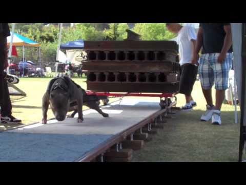 weight-pulling-disciplina-per-cani-che-fa-polemica-196