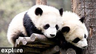 可愛らしいパンダの様子【神樹坪耿達パンダセンター】Wolong Grove Panda Cam