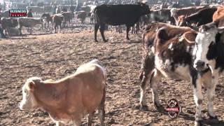 kars güneş hayvancılık yarım asırdır. kars hayvan pazarında hizmetlerimiz devam etmektedir.