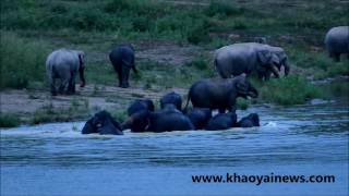 Amazing   Wild Elephants socializing in the water
