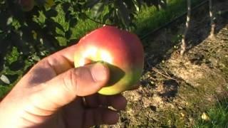 #190 Die Züchtung von frühen Apfelsorten
