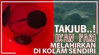 Video TAKJUB..! IKAN PARI Melahirkan di Kolam Sendiri | Fauna Irfan MP3, 3GP, MP4, WEBM, AVI, FLV Februari 2019