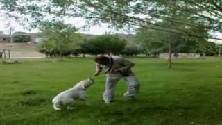 Noah de la Manoune. Macho de Bulldog Americano saltando.
