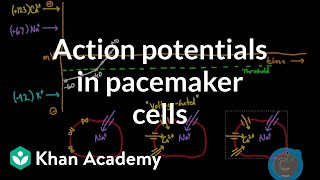 Nonton Action Potentials In Pacemaker Cells   Circulatory System Physiology   Nclex Rn   Khan Academy Film Subtitle Indonesia Streaming Movie Download
