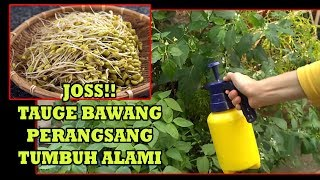 Video #TIS#CARA Buat Perngsang Tumbuh Alami |Shallot,Garlic,Mung Bean Sprout |Making Organic Plant Booster MP3, 3GP, MP4, WEBM, AVI, FLV Juli 2018