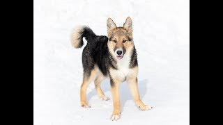 5-month-old Shepherd puppy looking for forever family!   The Dodo Project Home LIVE by The Dodo