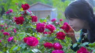 The life of roses 玫瑰花的一生