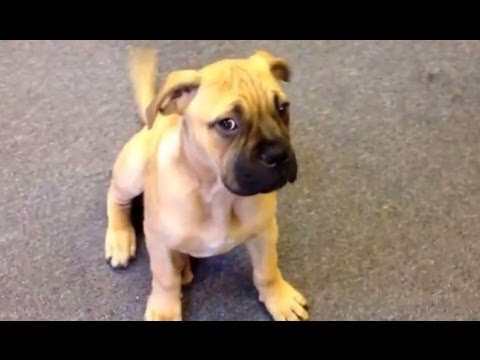 Bullmastiff Puppy 3 Months Old Funny !