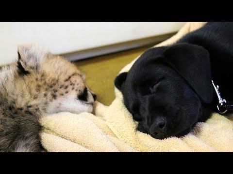 Play day for cheetah cub Winspear and Labrador puppy Amani!