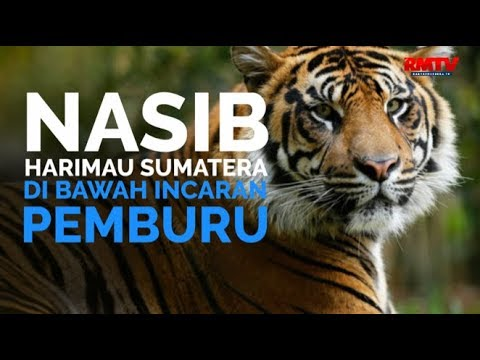 Nasib Harimau Sumatera Di Bawah Incaran Pemburu