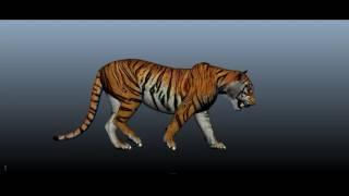 A quick tiger walk study