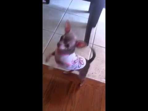 Micro TeaCup Chihuahua Dancing