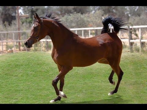 مصر العربية | بعد 7 سنوات.. مصر تستأنف تصدير الخيول العربية إلى أوروبا