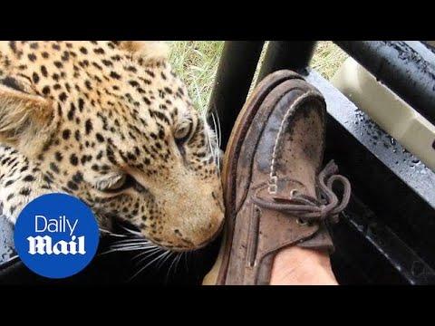 В Ботсване турист снял, как леопард играет с его ногой