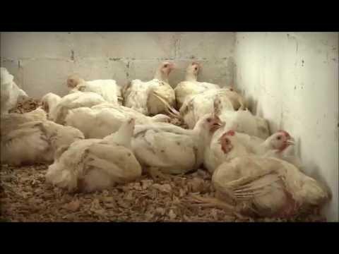 Granja de pollos de engorda Lol-Beh1