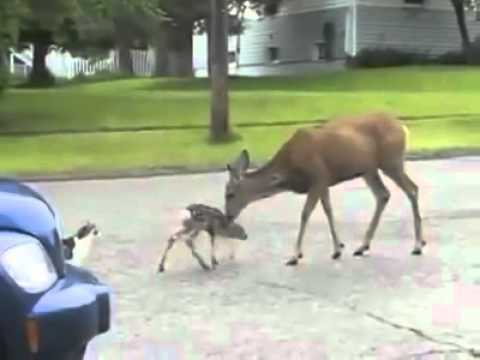 Video Deer vs Dog and Cat    with voiceover      YouTube download in MP3, 3GP, MP4, WEBM, AVI, FLV January 2017