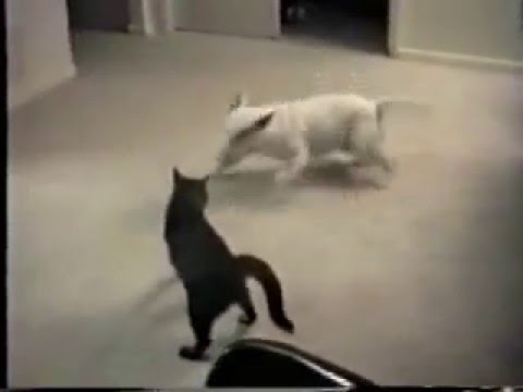 0 Crazy cat attacking dog