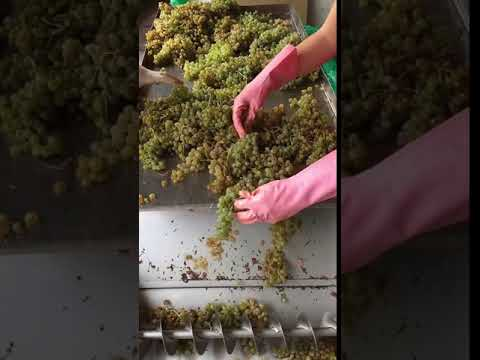 Grape sorting and processing