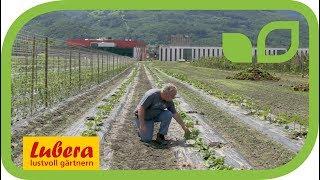 Auberginenzüchtung bei Lubera: die Ziele für den Hausgarten
