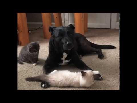 cane-diventa-mamma-surrogata-per-quasi-100-gattini