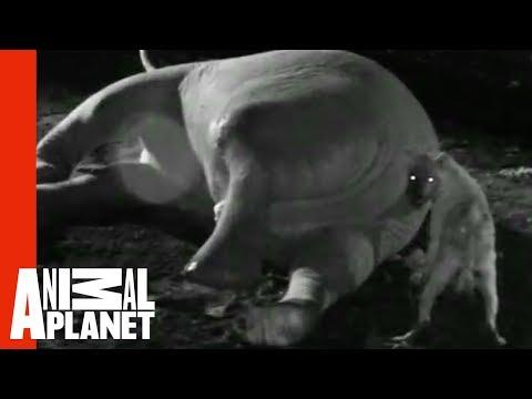 這隻土狼笨笨的想要從死去大象的肛門開始進食,結果咬了幾下他就深深的後悔逃跑了!